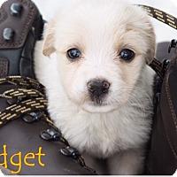 Adopt A Pet :: Fidget - Austin, TX