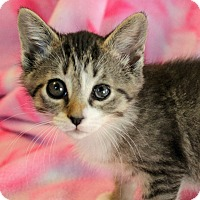Domestic Shorthair Kitten for adoption in Greensboro, North Carolina - Violet