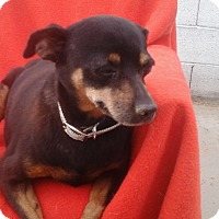 Adopt A Pet :: Reyna - Phoenix, AZ