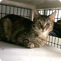 Domestic Shorthair Cat for adoption in Denver, Colorado - Freya