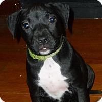 Adopt A Pet :: Peridot-Pending! - Detroit, MI