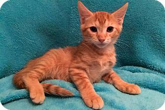 Domestic Shorthair Kitten for adoption in Grove City, Ohio - Lyall