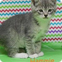 Domestic Mediumhair Kitten for adoption in Bucyrus, Ohio - Hammie Hamilton
