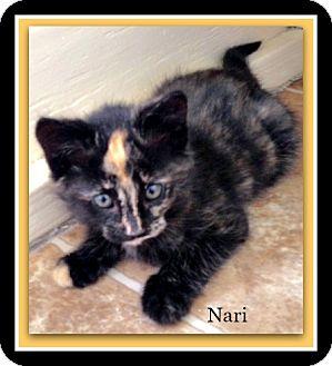Domestic Shorthair Kitten for adoption in Tombstone, Arizona - Nari