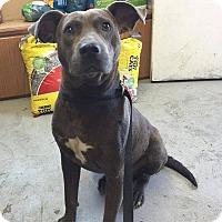 Adopt A Pet :: Razorback - Lewisburg, TN