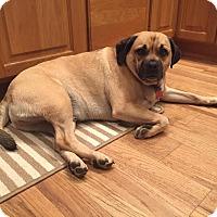 Pug/Beagle Mix Dog for adoption in China, Michigan - Teddy Bear