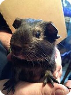 Guinea Pig for adoption in South Bend, Indiana - Tank - 8 weeks old