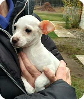 Chihuahua Puppy for adoption in Thompson Falls, Montana - Peanut