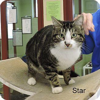 Domestic Shorthair Cat for adoption in Slidell, Louisiana - Star