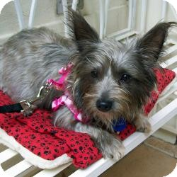 Yorkie, Yorkshire Terrier Mix Dog for adoption in The Villages, Florida - Cami