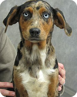 Australian Shepherd/Hound (Unknown Type) Mix Puppy for adoption in Harrisonburg, Virginia - Kaylee