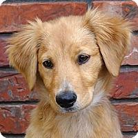 Adopt A Pet :: *Sophia - PENDING - Westport, CT