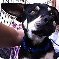 Adopt A Pet :: Nacho - North Hollywood, CA