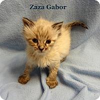Adopt A Pet :: Zsa Zsa Gabor - Bentonville, AR
