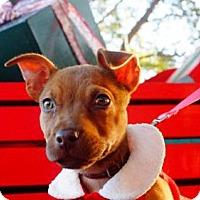 Adopt A Pet :: Candy O - Plant City, FL