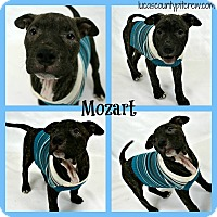 American Pit Bull Terrier/American Staffordshire Terrier Mix Dog for adoption in Toledo, Ohio - Mozart