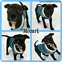 Adopt A Pet :: Mozart - Sylvania, OH
