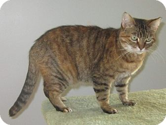 Domestic Shorthair Cat for adoption in Toledo, Ohio - Clara