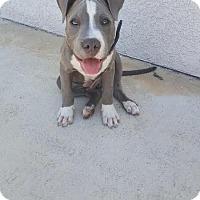 Adopt A Pet :: Ralphy - tucson, AZ
