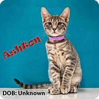 Adopt A Pet :: Ashton - Chandler, AZ