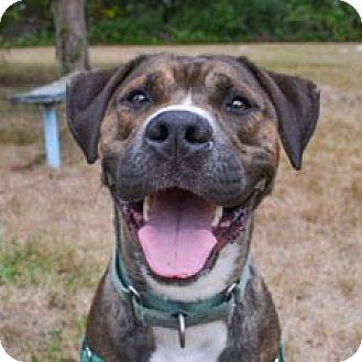 American Pit Bull Terrier/Boxer Mix Dog for adoption in Milton, Massachusetts - Clover