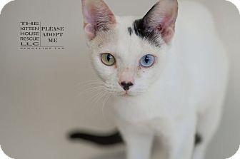 Turkish Van Cat for adoption in Houston, Texas - AMIRA