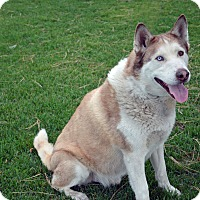 Adopt A Pet :: Nanook - Mountain Center, CA