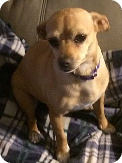 Chihuahua Mix Dog for adoption in Concord, California - Carson
