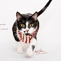 Domestic Shorthair Cat for adoption in Westlake, California - MAMA SAMANTHA
