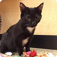 Domestic Mediumhair Cat for adoption in Atlanta, Georgia - Brewer