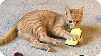 Domestic Shorthair Cat for adoption in Huntsville, Alabama - Augusta