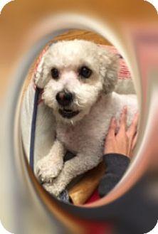 Bichon Frise Dog for adoption in Tulsa, Oklahoma - Pending!!Snowball - IL
