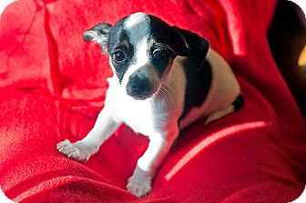 Chihuahua/Terrier (Unknown Type, Small) Mix Puppy for adoption in Fountain Valley, California - Big Moo