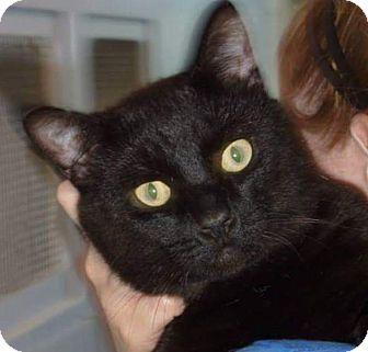 Domestic Shorthair Cat for adoption in Port Coquitlam, British Columbia - Marvin