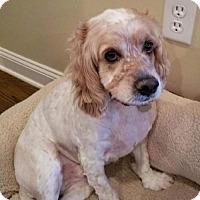 Adopt A Pet :: Young Max - Flushing, NY