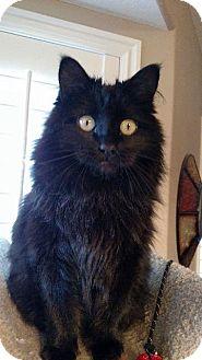 Domestic Longhair Cat for adoption in Salt Lake City, Utah - Minuette