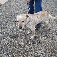 Adopt A Pet :: Scout - Cedaredge, CO