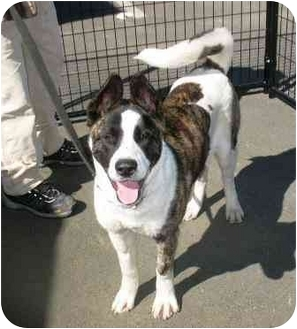 Akita Dog for adoption in Hayward, California - Nikita