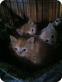 Domestic Longhair Kitten for adoption in Clay, New York - KITTEN'S