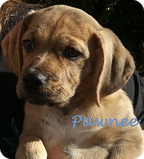 Labrador Retriever/Whippet Mix Puppy for adoption in Garden City, Michigan - Pawnee