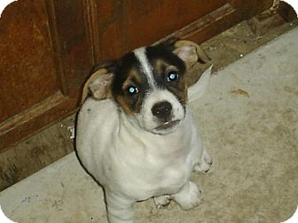 Jack Russell Terrier Mix Puppy for adoption in Atascadero, California - Trinket