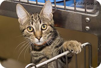 Domestic Shorthair Cat for adoption in New Port Richey, Florida - Morgan