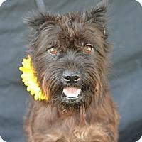 Adopt A Pet :: Nikki - Plano, TX
