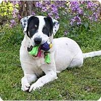 Adopt A Pet :: Paddy - Mocksville, NC