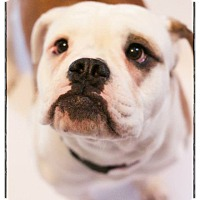 Adopt A Pet :: Sissy Jean - West Allis, WI
