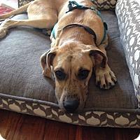 Adopt A Pet :: Bruno - Broomfield, CO