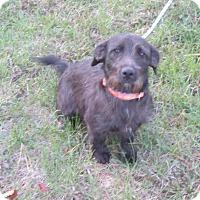 Adopt A Pet :: Olivia - West Warwick, RI