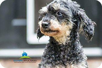Poodle (Miniature) Dog for adoption in Matthews, North Carolina - Onyx