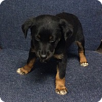 Adopt A Pet :: Herbie - Harrisburg, PA