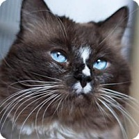 Domestic Longhair Cat for adoption in Denver, Colorado - Steve